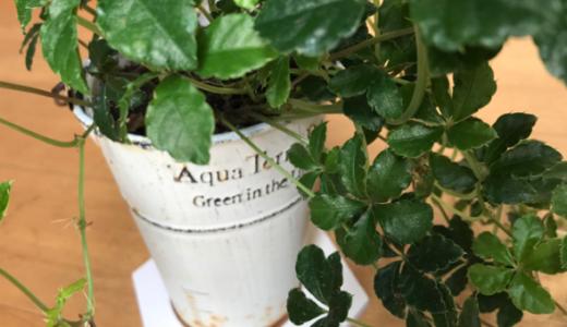 【Can★Ⅾo】珪藻土はバスマットだけじゃない。100均の珪藻土プランタープレートが超便利な件!!