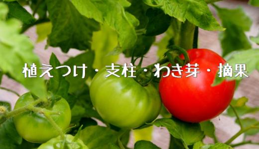 【2018年】大玉トマト桃太郎の成長記録① ~植えつけ・支柱・わき芽・摘果~