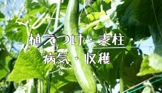【2018年】きゅうりの成長記録① ~植えつけ・支柱・病気・収穫~