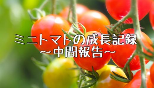 【2018年】ミニトマトの成長記録② 〜収穫報告〜