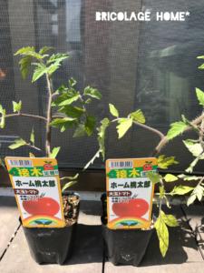 2019ホーム桃太郎のトマト苗