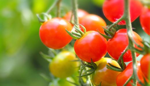【2019年】ミニトマトの成長記録② (写真付)〜 途中経過・収穫・終了 〜