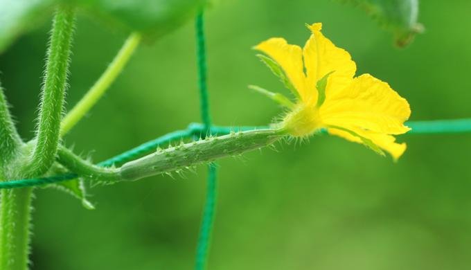 きゅうりの雌花