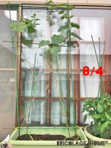 きゅうりの成長過程