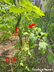 2019大玉トマト桃太郎の成長記録