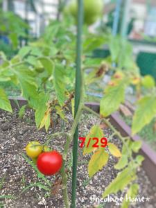 ミニトマトの成長記録
